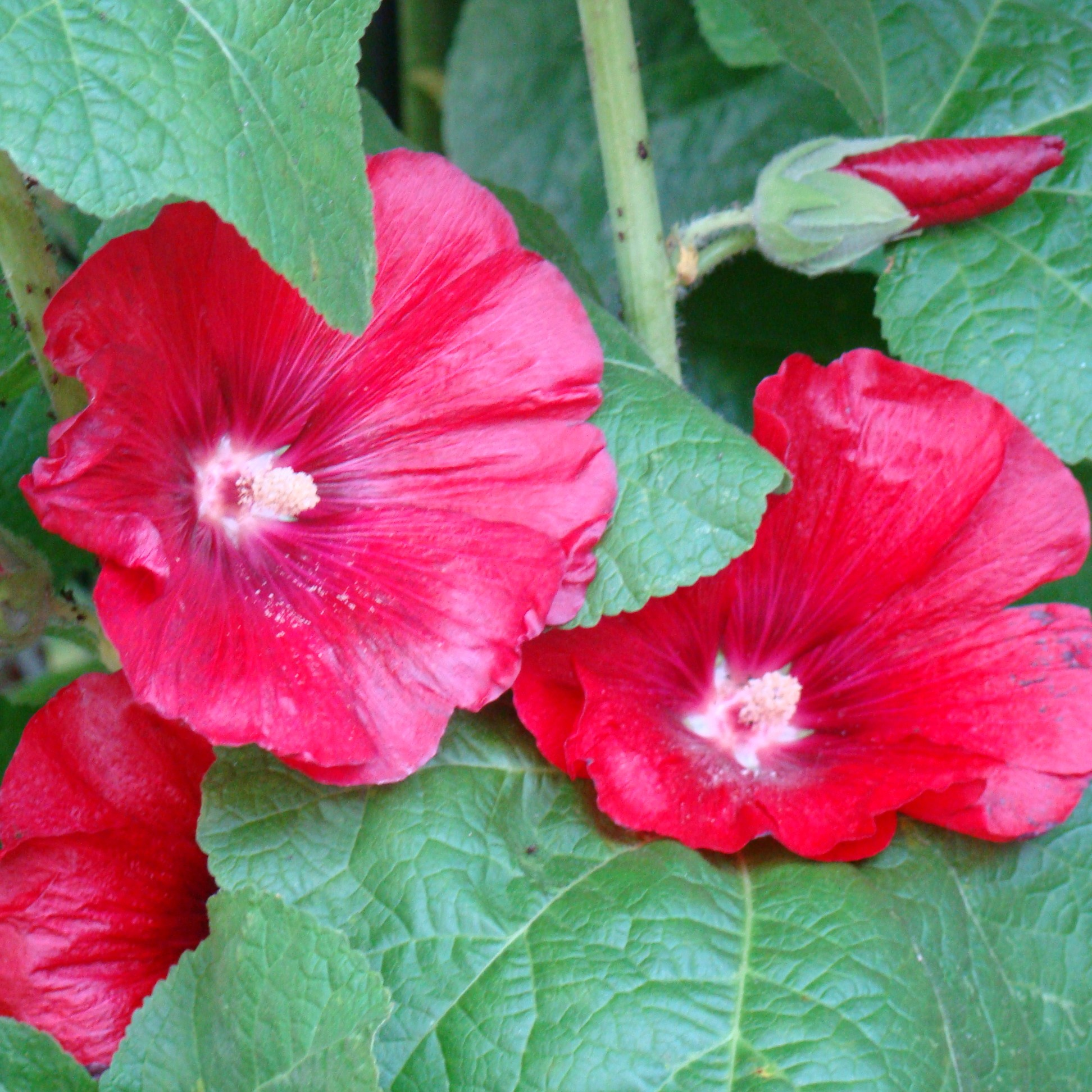 Old fashioned hollyhock seeds 99