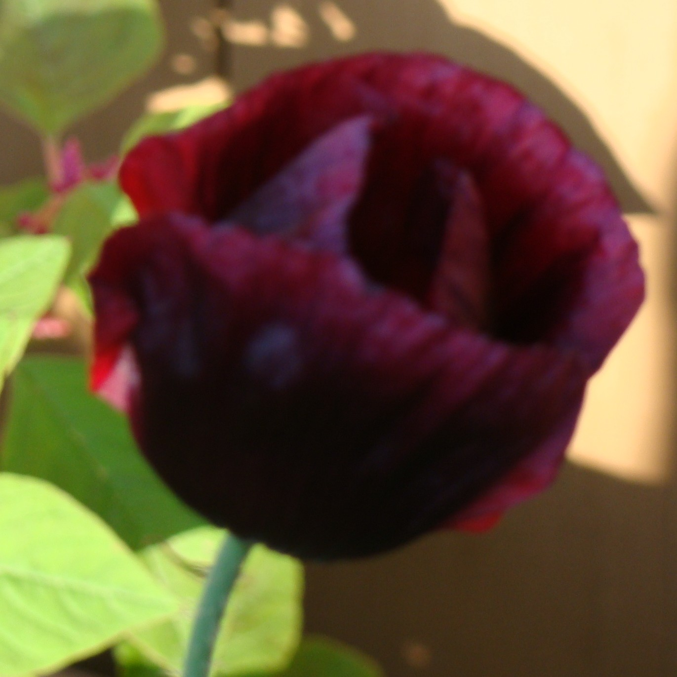 Papaver somniferum black beauty the seed basket papaver somniferum black beauty izmirmasajfo