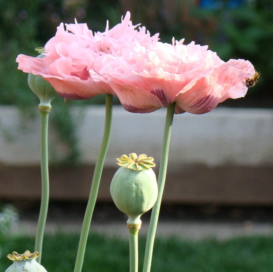 Poppy Papaver Pink Peony The Seed Basket