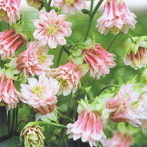 columbine 'pink tower'  the seed basket, Beautiful flower