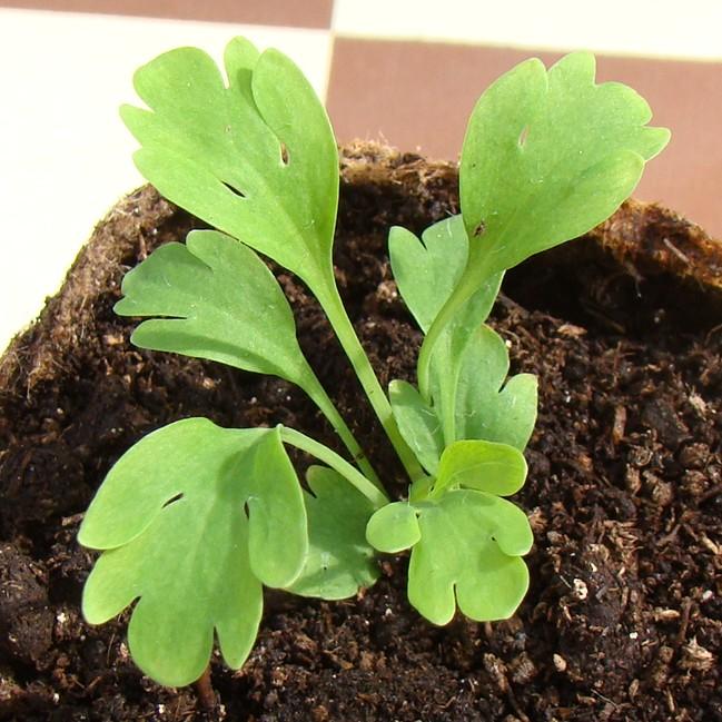 Iceland Poppy Seedling