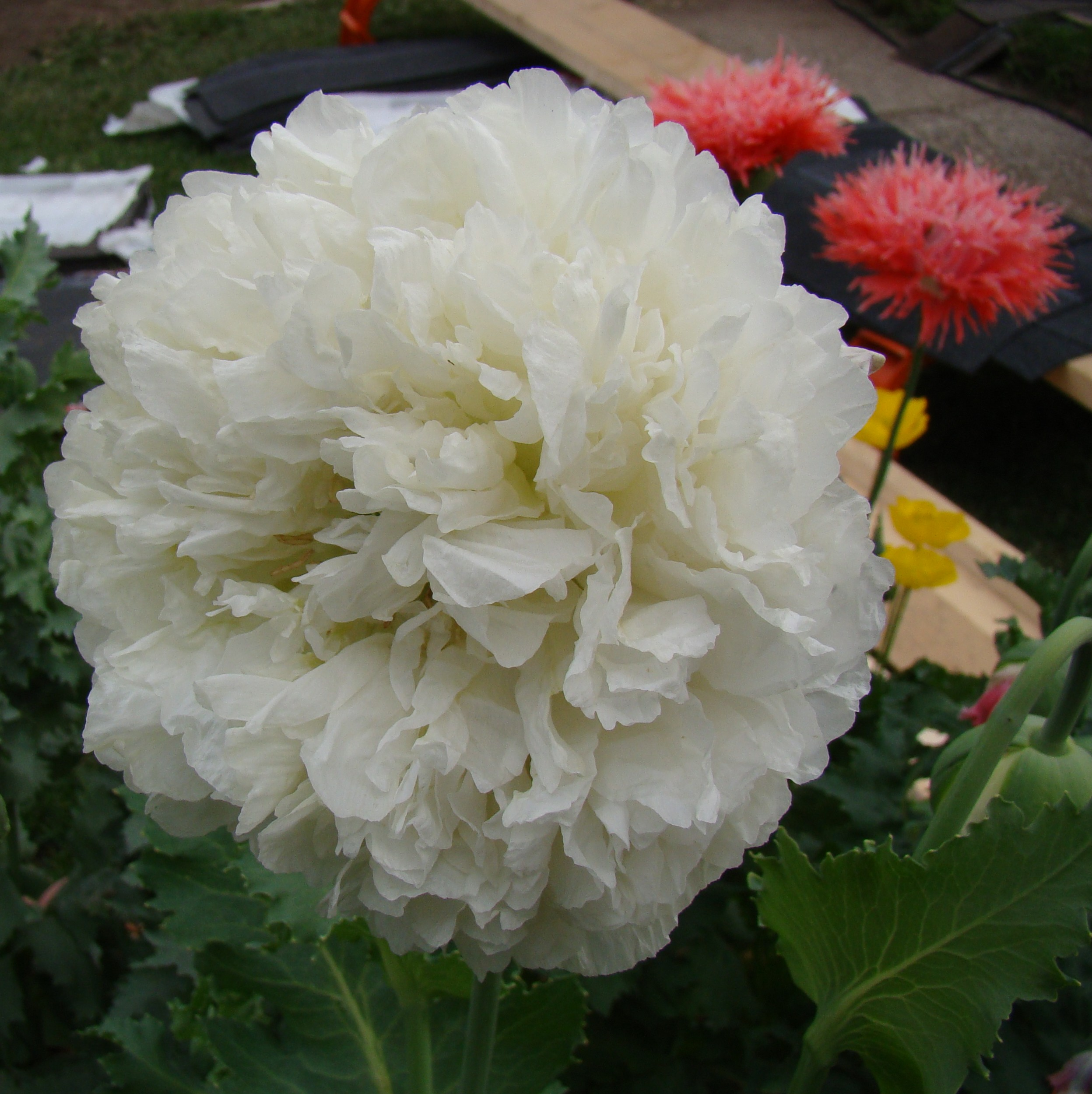 Papaver Poppy White Cloud The Seed Basket