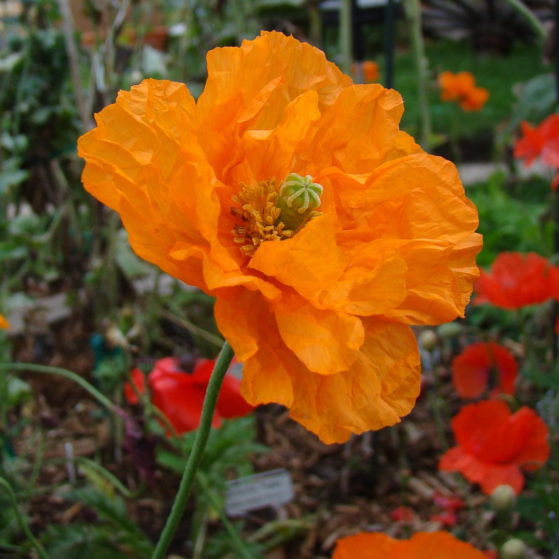 papaver rupifragum u0027poppy double spanish tangeriine gem u0027 the